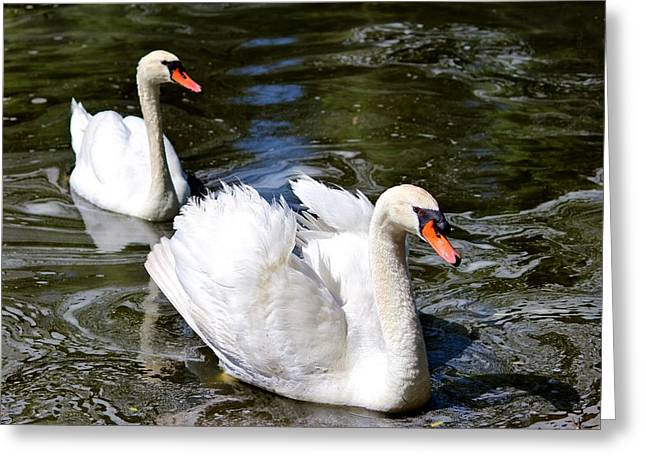 Pair Of Swans Greeting Card by Cynthia Guinn