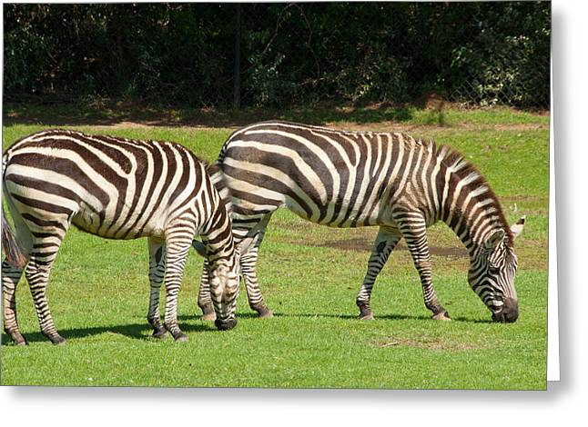 Greeting Card featuring the photograph Pair Of Zebras by Charles Beeler