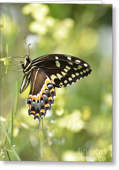 Palamedes Swallowtail 2 Greeting Card