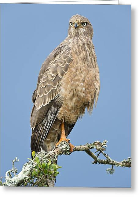 Pale Chanting Goshawk Greeting Card by Science Photo Library