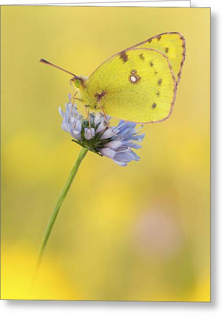 Pale Clouded Yellow Butterfly On Flower Greeting Card by Arik Siegel