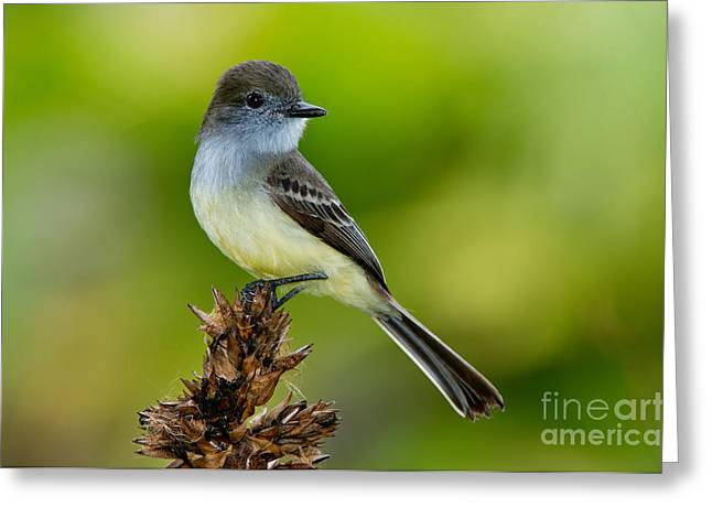 Pale-edged Flycatcher Greeting Card by Anthony Mercieca