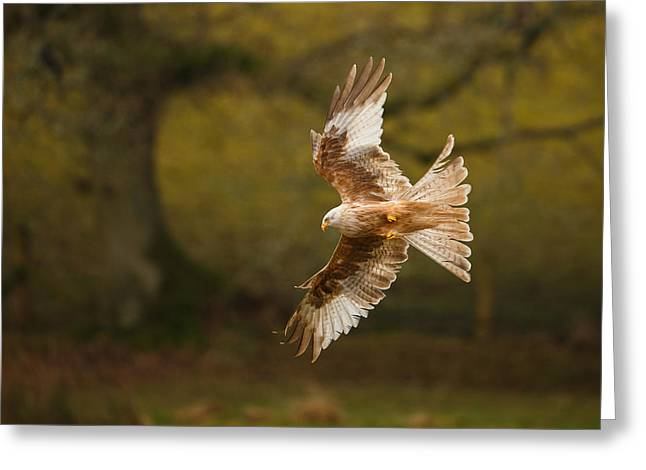 Pale Morph Red Kite Fly Past Greeting Card