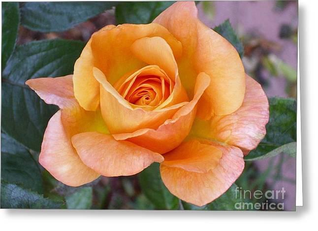 Pale Orange Rose Greeting Card