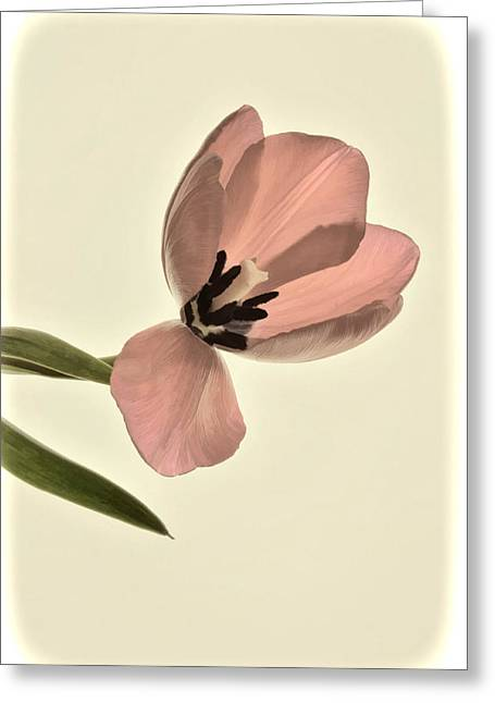 Pale Pink Tulip Greeting Card