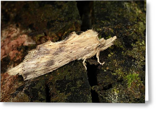 Pale Prominent Moth Greeting Card by Nigel Downer