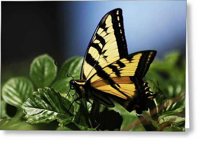 Greeting Card featuring the photograph Pale Swallowtail by Richard Stephen