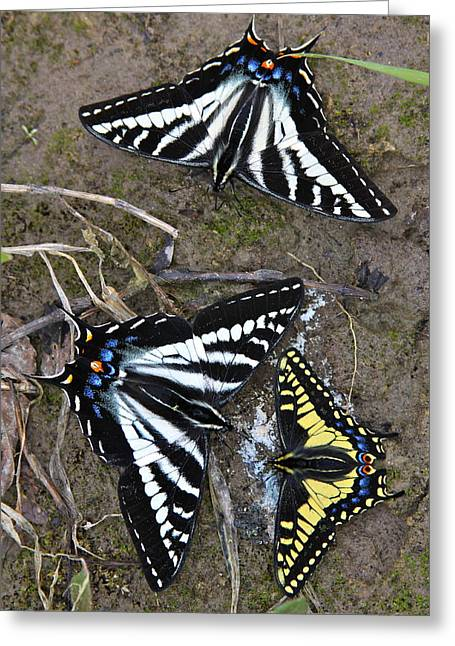 Pale Swallowtails And Western Tiger Swallowtail Butterflies Greeting Card