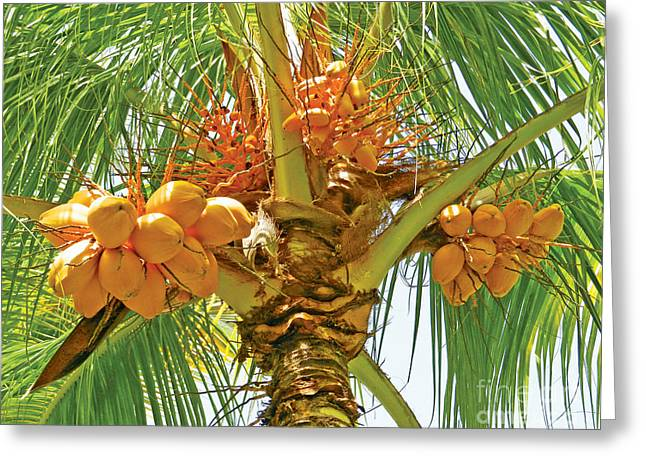 Greeting Card featuring the photograph Palm Tree With Coconuts by Val Miller