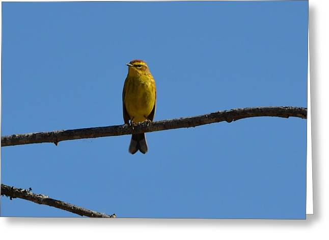 Palm Warbler Greeting Card by James Petersen