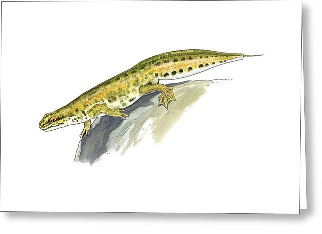 Palmate Newt, Artwork Greeting Card