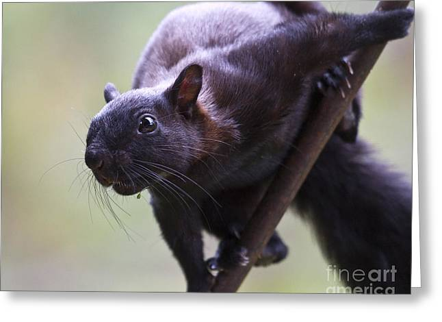 Panamanian Tree Squirrel Greeting Card by Heiko Koehrer-Wagner