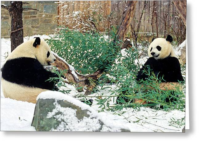 Panda Bears In Snow Greeting Card by Chris Scroggins