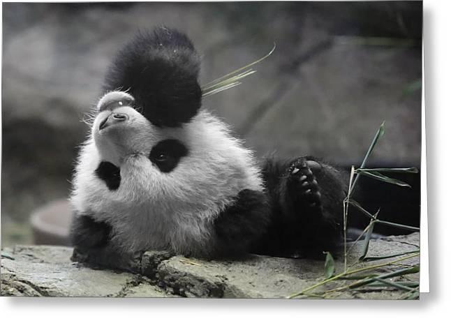 Panda Cub At National Zoo Greeting Card by Jack Nevitt