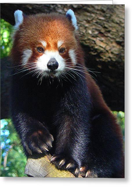 Panda Paws Greeting Card by Margaret Saheed