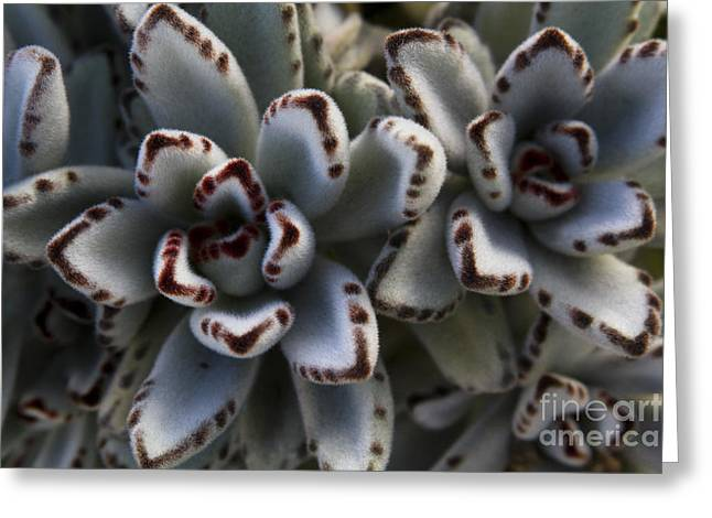 Panda Plant - Kalanchoe Tomentosa Greeting Card by Sharon Mau