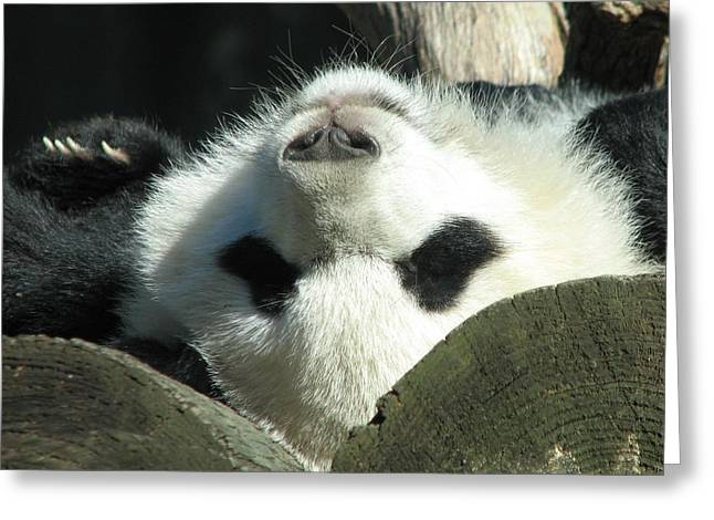 Panda Playing Possum Greeting Card