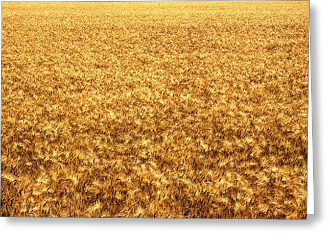 Panorama Of Amber Waves Of Grain, Wheat Greeting Card by Panoramic Images