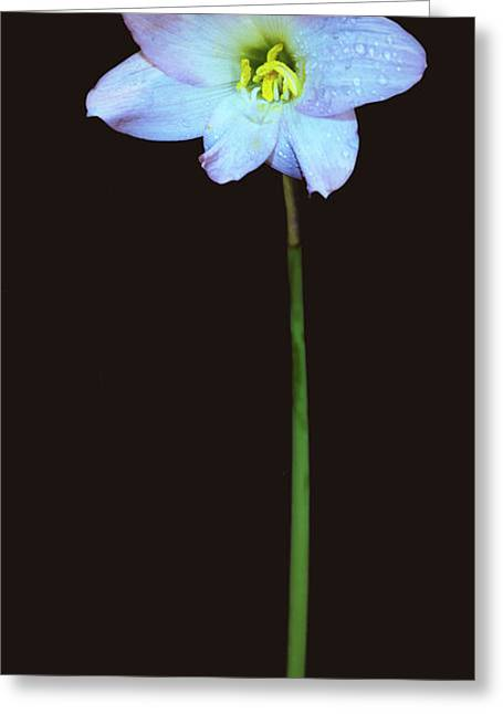 Panoramic Of A Lily. Greeting Card