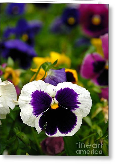 Pansies Greeting Card by Amy Cicconi