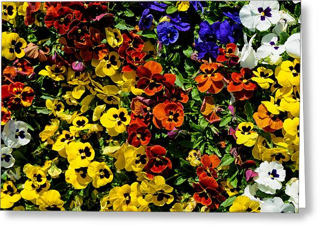 Pansy Color Mix  Greeting Card
