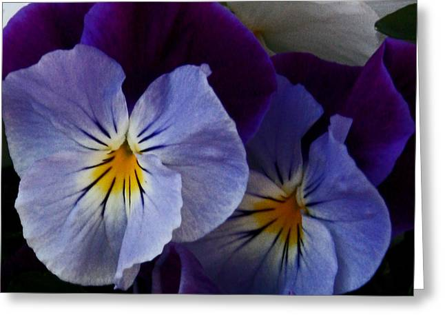 Pansy Delight Greeting Card