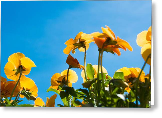 Pansy Flowers And The Clear Blue Sky Greeting Card by Priyanka Ravi
