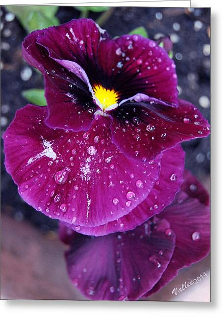 Pansy In The Dew Greeting Card by Vallee Johnson