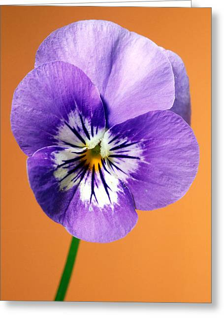 Pansy Purple Greeting Card by Carl Perkins