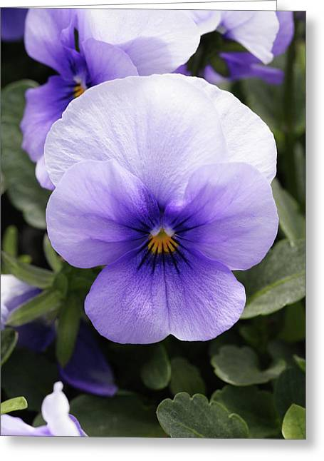 Pansy (viola Tricolor 'ice Blue') Greeting Card