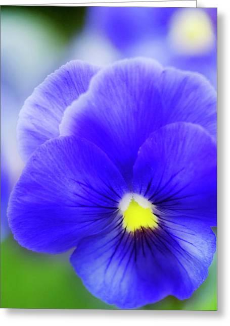 Pansy (viola Tricolor) Greeting Card