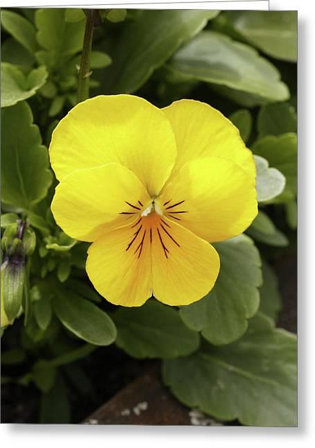 Pansy (viola Tricolor 'yellow Deli') Greeting Card