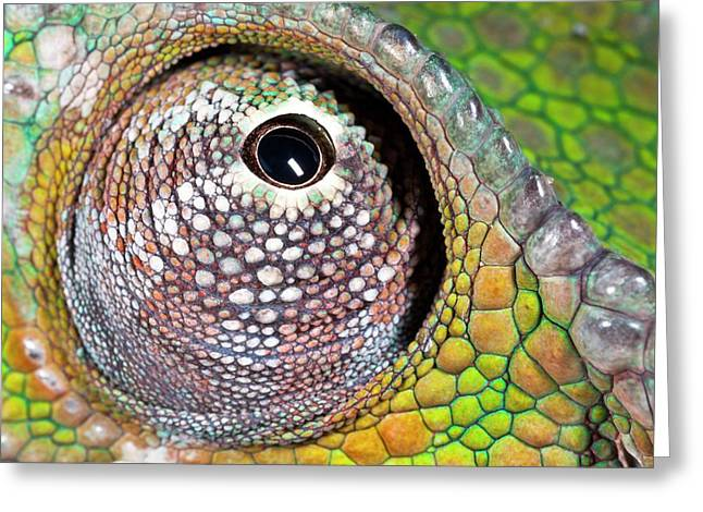Panther Chameleon Eye Greeting Card