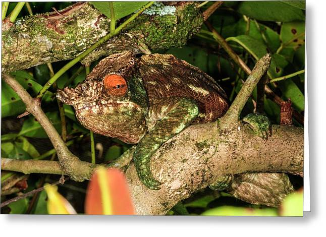 Panther Chameleon (furcifer Pardalis) Greeting Card by Photostock-israel