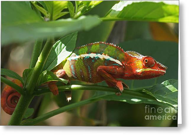 Panther Chameleon Madagascar 1 Greeting Card by Rudi Prott