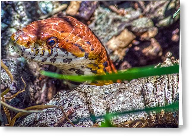 Pantherophis Guttatus Greeting Card by Rob Sellers