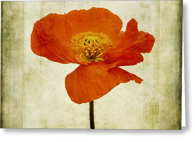 Papaver Nudicaule Garden Gnome Greeting Card