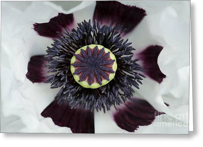 Papaver Orientale Perrys White Greeting Card by Tim Gainey