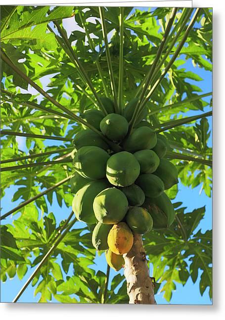 Papaya Tree, Melanesia, Fiji Greeting Card