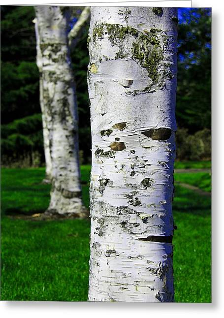 Black And White Greeting Card featuring the photograph Paper Birch Trees by Aaron Berg