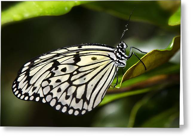 Paper Kite Butterfly On A Leaf  Greeting Card by Saija  Lehtonen