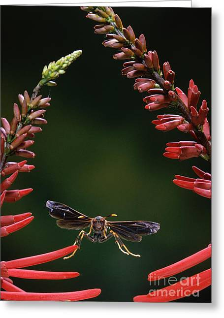 Paper Wasp In Flight Greeting Card by Stephen Dalton