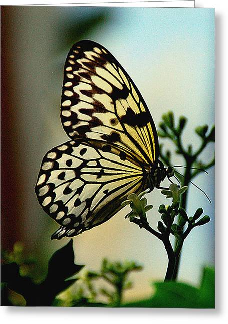 Paperkite Butterfly Greeting Card