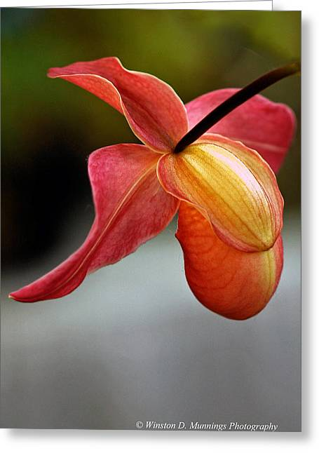 Paphiopedilum Orchid - Slipper Orchid Greeting Card