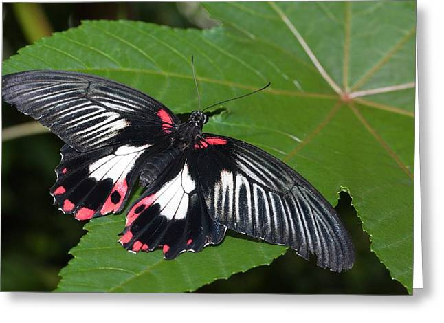 Papilio Memnon Butterfly Greeting Card by Dirk Wiersma