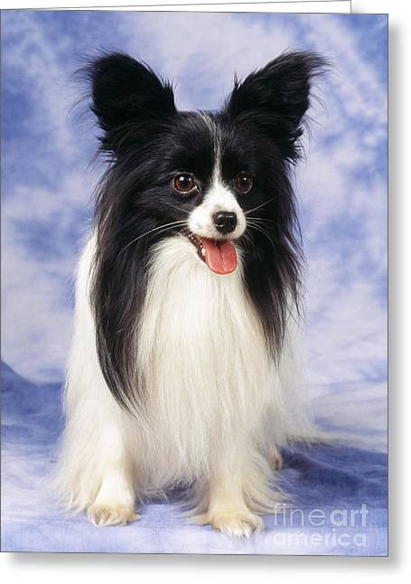 Papillon Dog Greeting Card