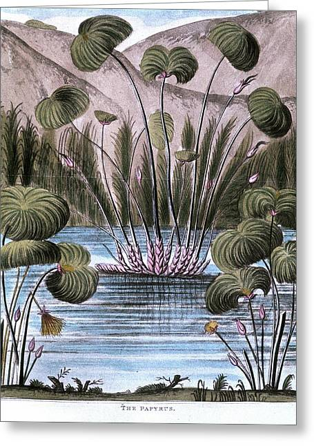 Papyrus Reed (cyperus Papyrus) Greeting Card by Universal History Archive/uig