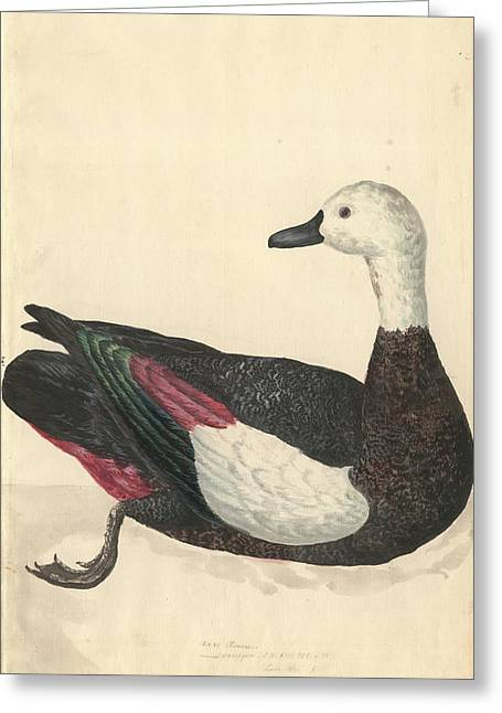 Paradise Shelduck Greeting Card by Natural History Museum, London