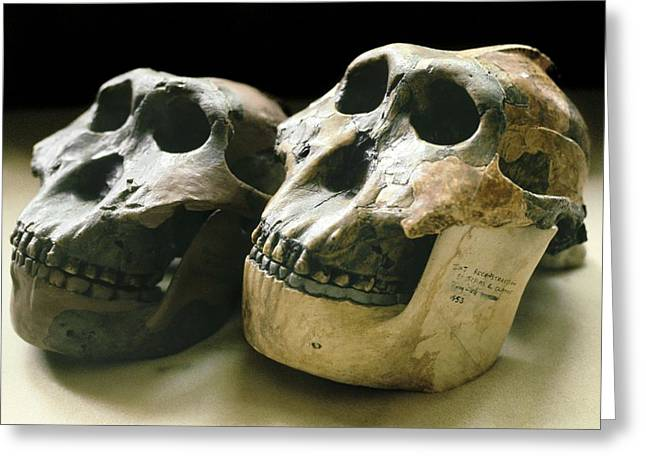 Paranthropus Boisei Skulls Greeting Card by Science Photo Library