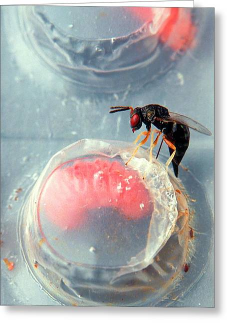 Parasitic Wasp On Boll Weevil Larva Greeting Card by Scott Bauer/us Department Of Agriculture